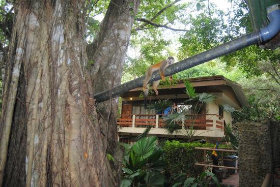 Jungle Beach Hotel at Manuel Antonio: Nuestro entorno con los monos