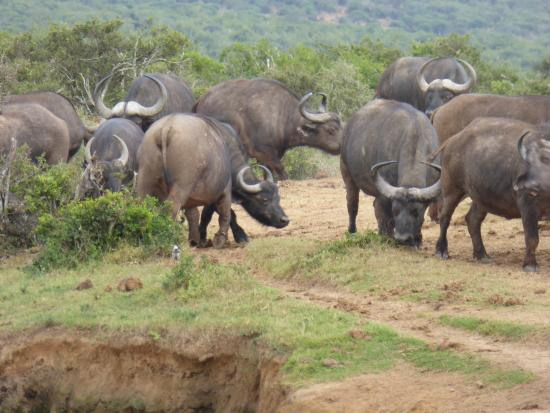 Amakhala Safari Lodge: Cape buffalo group