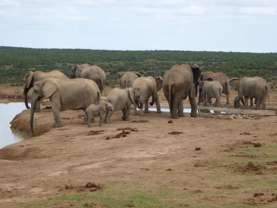 Amakhala Safari Lodge: Elephant group with baby