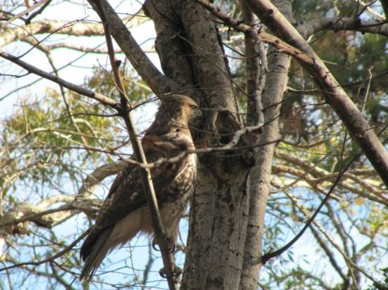 Myrtle Beach KOA Kampground: Hawk in the campground