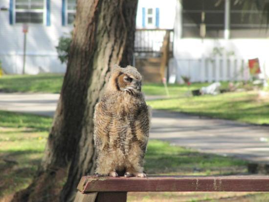 Myrtle Beach KOA Kampground: Owl in the campground