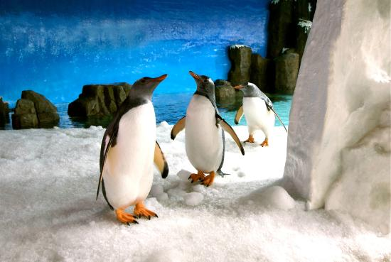 SEA LIFE Melbourne Aquarium: See our cheeky Gentoo Penguins slip and slide across the snow-covered ice