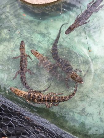Kissimmee Go-Karts: Feeding the gators