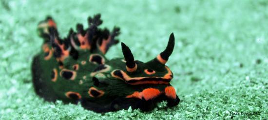 Feet First Dive: Nembrotha rosannulata  (Donut Nembrotha) - resident ONLY to Port Stephens - Cabbage Tree Island