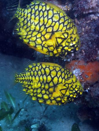 Feet First Dive: Pineapple fish - Fly Point