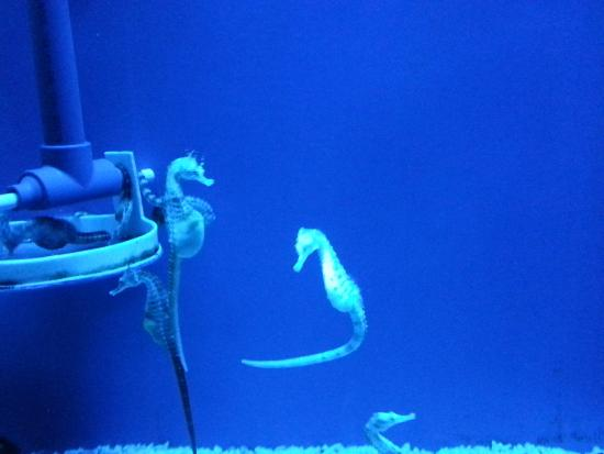 Cavalluccio marino nel blu foto di acquario di genova for Immagini di cavalluccio marino