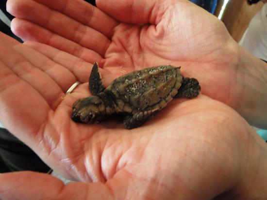 Bayahibe, Den Dominikanske Republik: 2 Tage alte Schildkröte