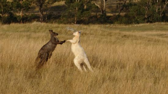 Emirates One&Only Wolgan Valley: 2 Wallaroos having a bust up over a female