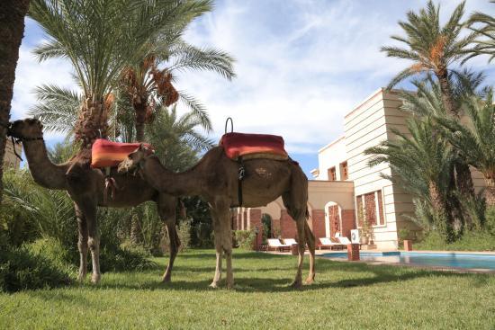 Domaine Rosaroum: Camels