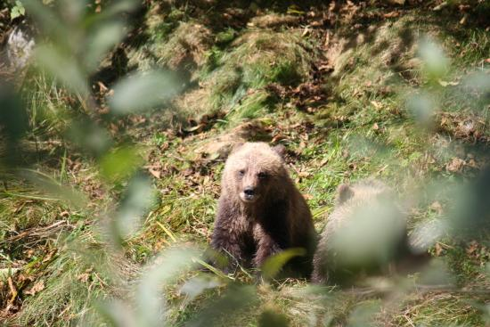 Adventure Quest Tours Canada Inc- Day Tours: Fall Grizzly Bear Expeditions