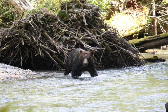 Campbell River, Kanada: Fall Grizzly Bear Expeditions