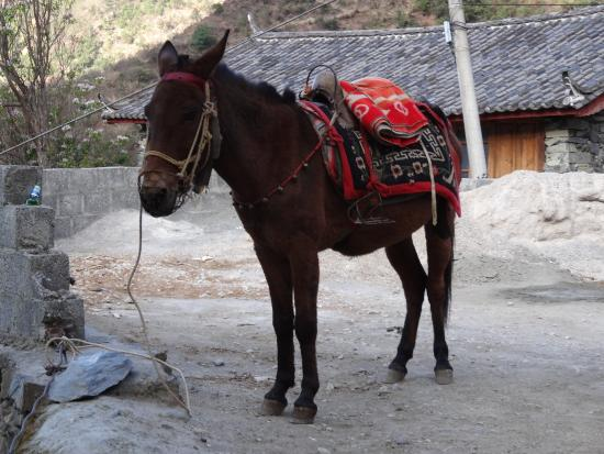 Tiger Leaping Gorge (Hutiao Xia): Mule on the trek