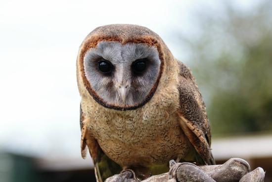 """Ashy-Faced Barn Owl """"Angel"""" - Picture of Screech Owl ..."""
