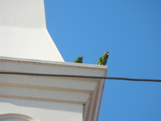 """Villa Escazu: Parrots walking down to """"Centro"""""""