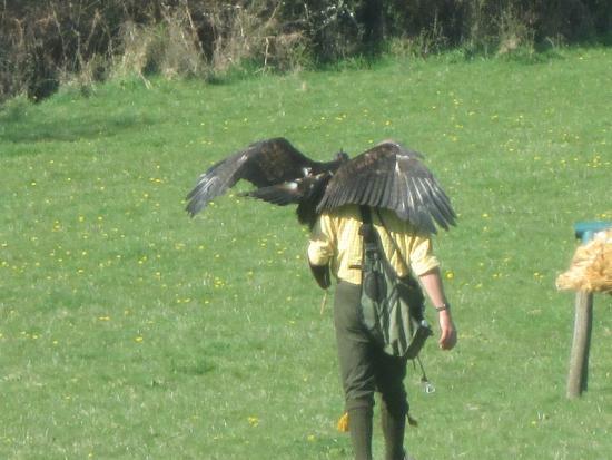 Dartmoor Hawking Falconry Experience: 21 5 2015
