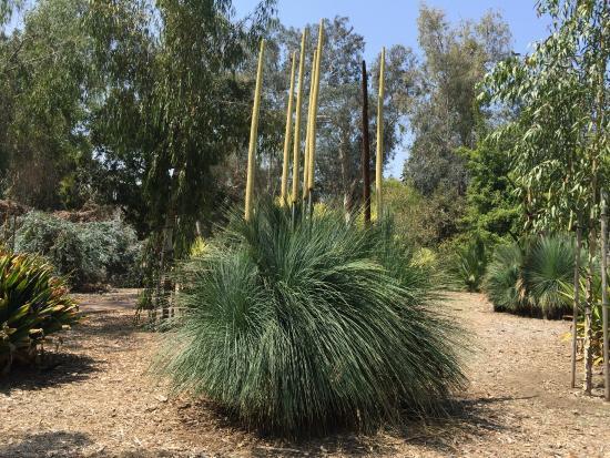 xanthorrhoea quadrangulata grass tree  fotograf u00eda de los angeles county arboretum  u0026 botanic