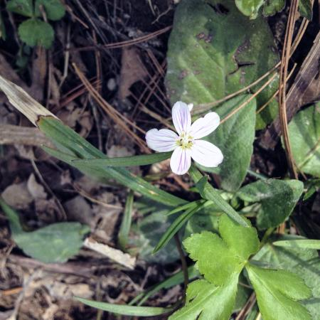 White Pines Forest State Park: Spring Beauty