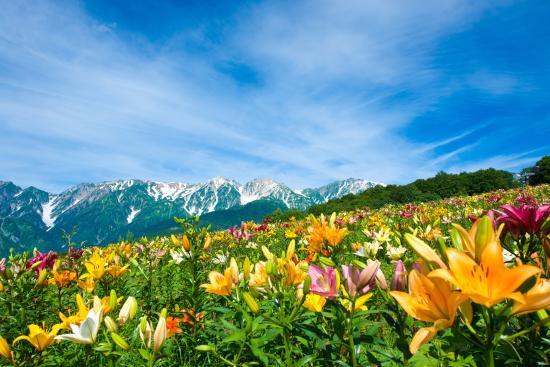 Hakuba-mura, Japonya: 山頂ゆり園&北アルプス