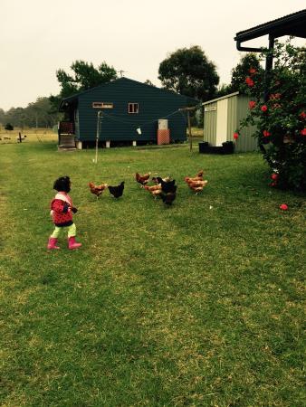 Honeycomb Valley Farmstay : Chooks