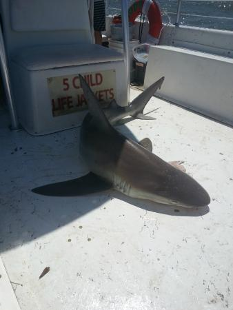 Drifter Excursions: 5 1/2 ft Bull Shark over 100 lbs