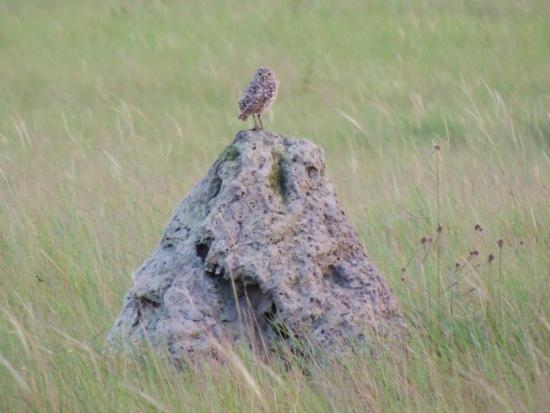 Yupukari, Γουιάνα: Burrowing Owl in the savannah