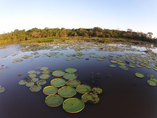 Yupukari, Γουιάνα: A pond filled with Victoria Amazonica lilies