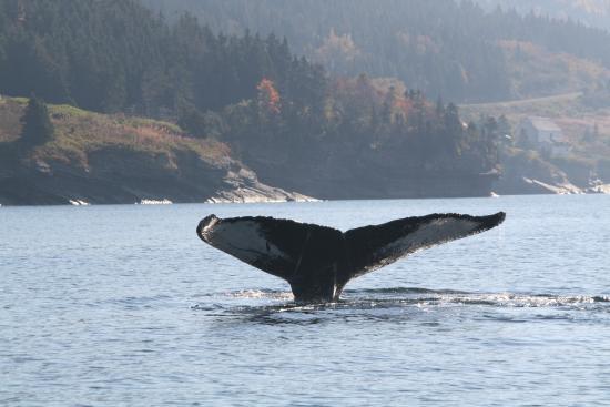 Au pied du phare: Baleine à Forillon Nord