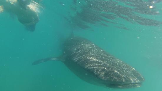 planned by Yeneka, snorkeling with whale shark