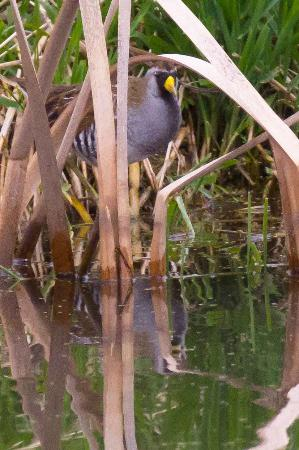 Heron County Park: Sora in the reeds