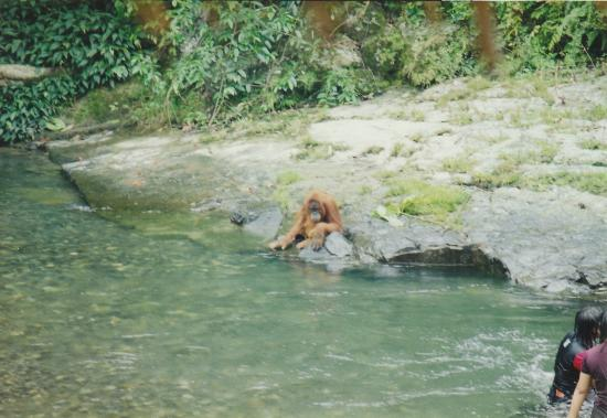 Expedition Jungle : A large male at the river's edge