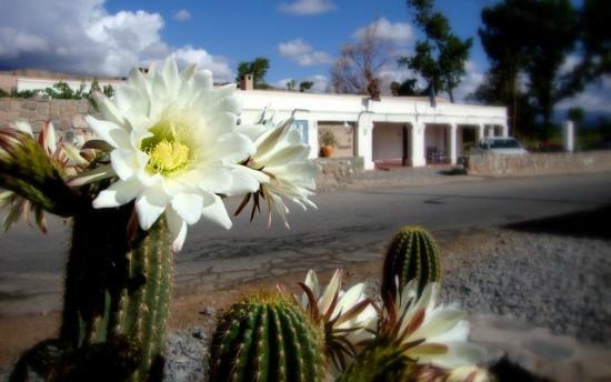 Sala de Payogasta: Nuestro cardón en flor