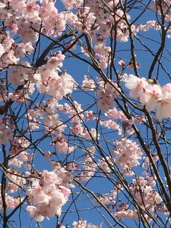 Toyanogata Park: 桜・・