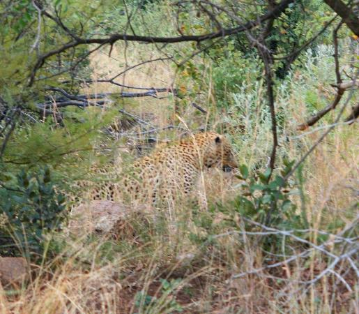 Felleng Day Tours : Leopard, spotted walking across the road, then through the bushes