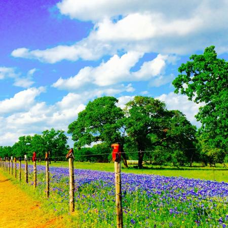 Fredericksburg, TX: This Spring the wildflowers were Super Sized