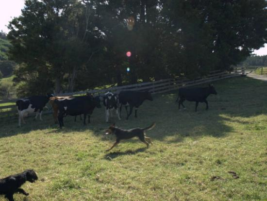 Ashgrove Farmstay & Farm Tours: beautiful walks with lovely cows :)
