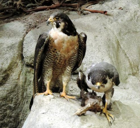 Birds Of Prey Picture Of North Carolina Museum Of Natural Sciences Raleigh Tripadvisor