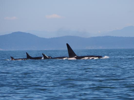 Western Prince Whale Watching : Transient orca