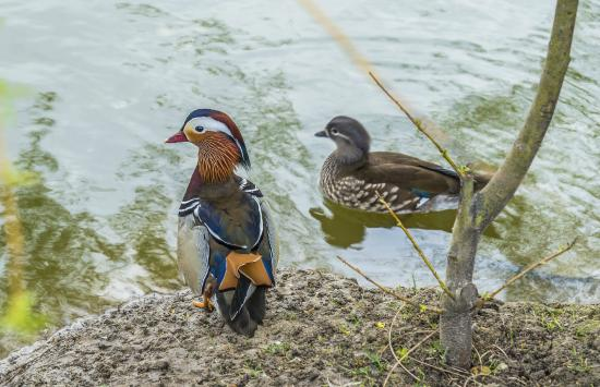 Hadambu, Rumänien: Duck at petting zoo