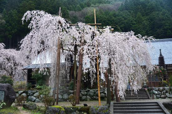 Higashiyoshino-mura, Ιαπωνία: 宝蔵寺 枝垂れ小糸桜