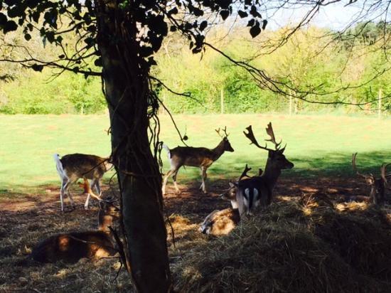 The Pig near Bath : Deer park