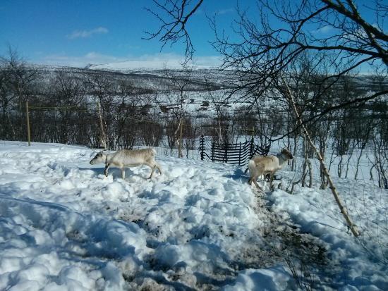 Samiway : reinders in the garden