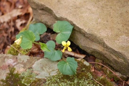 Yellow Violet at Anna Ruby Falls