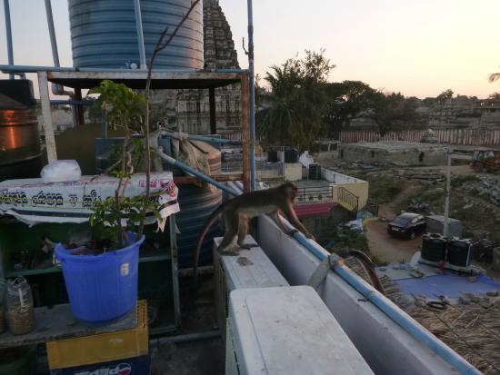 Gopi Guesthouse and Restaurant: Monkeys on the roof!