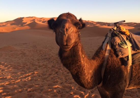 Camel Trekking - Day Tours: The Camels!
