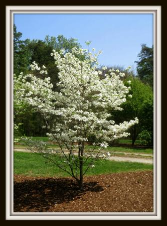Brookneal, VA: Virginia Dogwood Tree