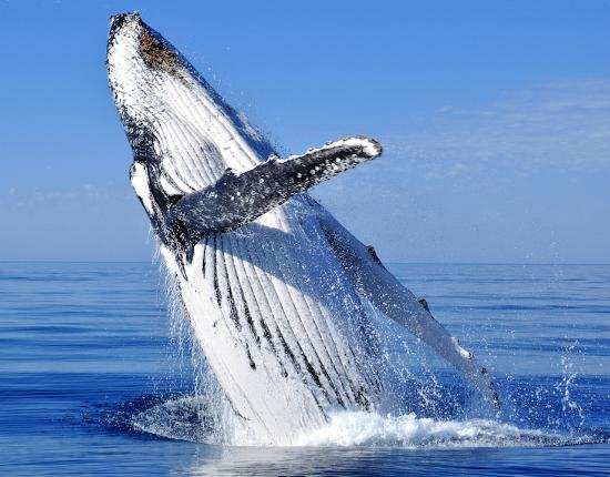 Keauhou, Havaí: Hawaiian Humpback Whales seasonally breach along the Kona Coast