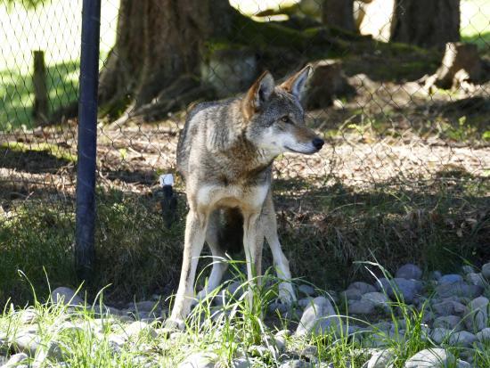 Point Defiance Zoo & Aquarium : Red wolf