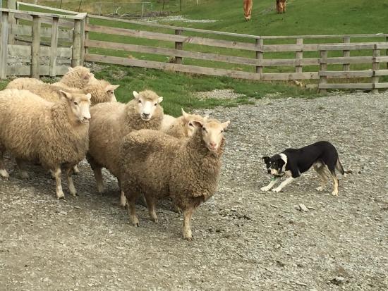 Queenstown, New Zealand: Sheep herding