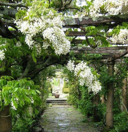 Mapperton Gardens: White wisteria