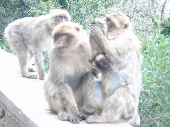 Bejaia, Aljazair: Famille de singes magots